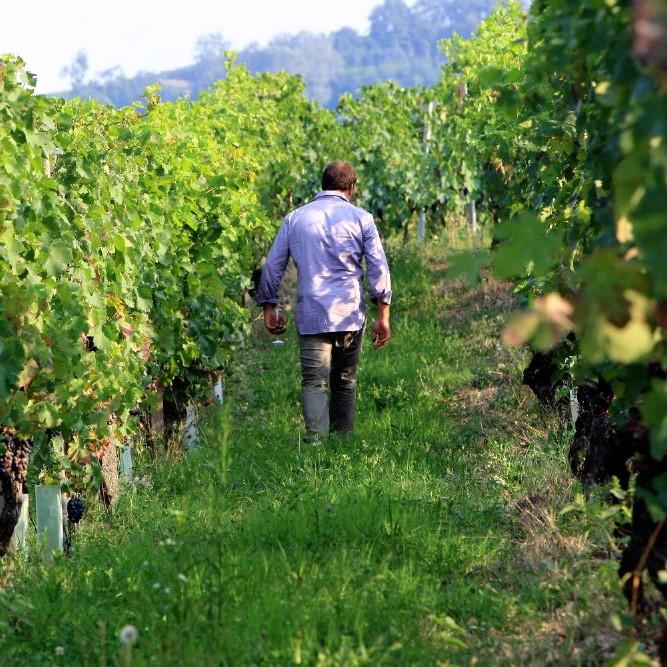 WINE maker in piedmont vineyards